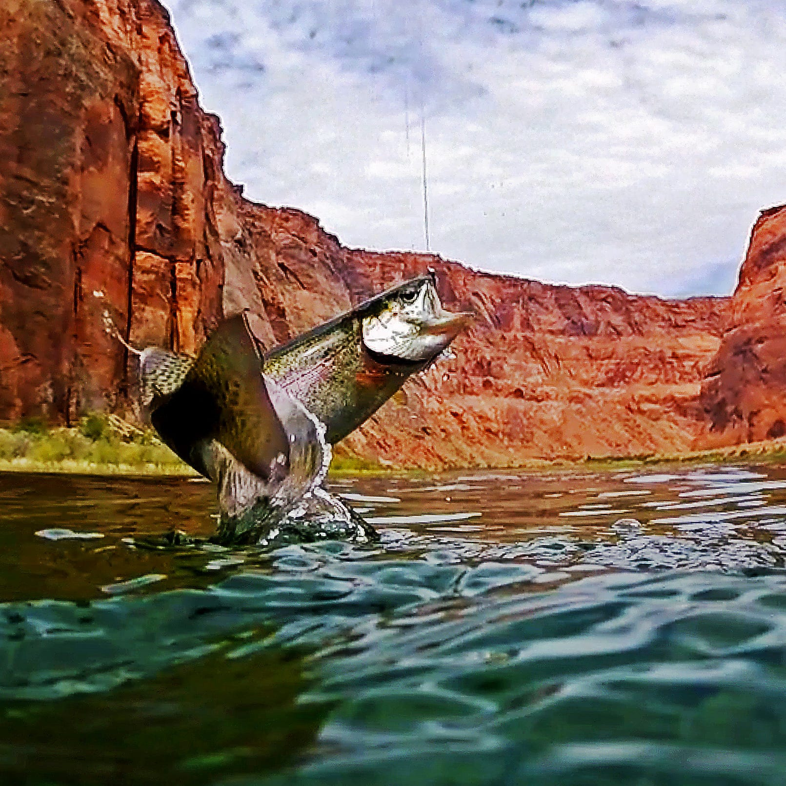 A rainbow trout is hooked by a fly fisherman on the Colorado River near Marble Canyon. The non-native fish were introduced into Grand Canyon waters for recreational anglers and have been known to dine on the river's endangered humpback chub.