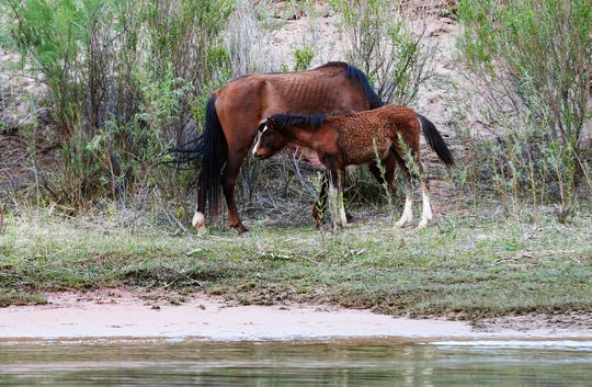 Wild horses graze on the banks of the Colorado River below the Glen Canyon Dam near Marble Canyon.