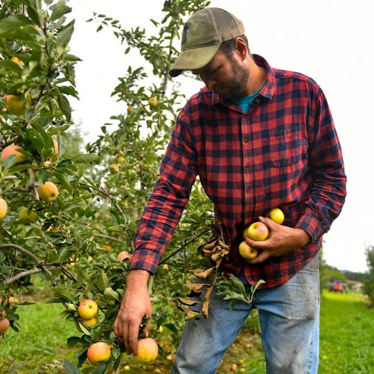 Mike Flinchbaugh collects ripened apples as he strolls through the orchard.