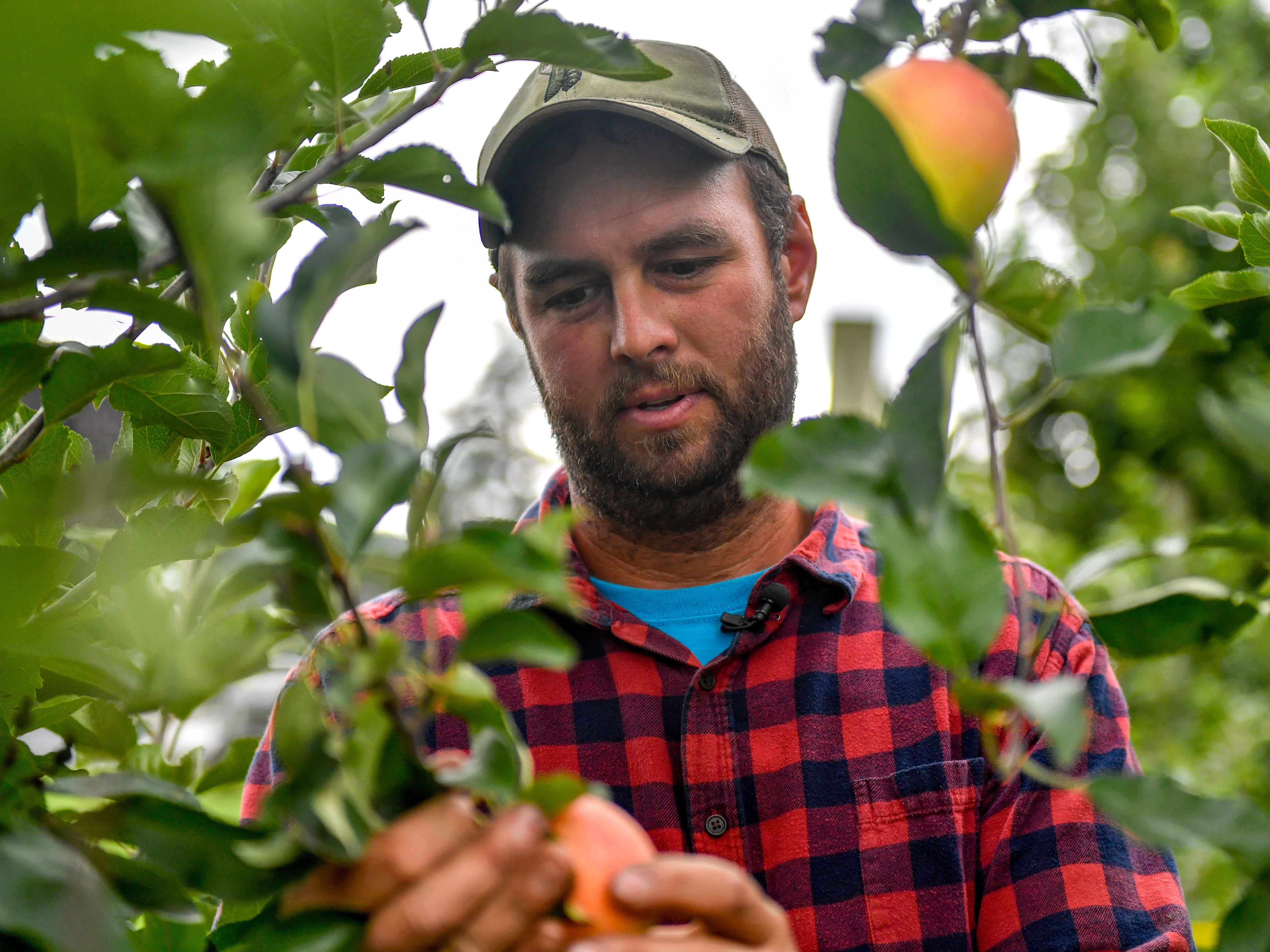 Michael Flinchbaugh, one of the owners of Flinchbaugh's Orchard and Farm Market, examines if an apple is ready to be picked.