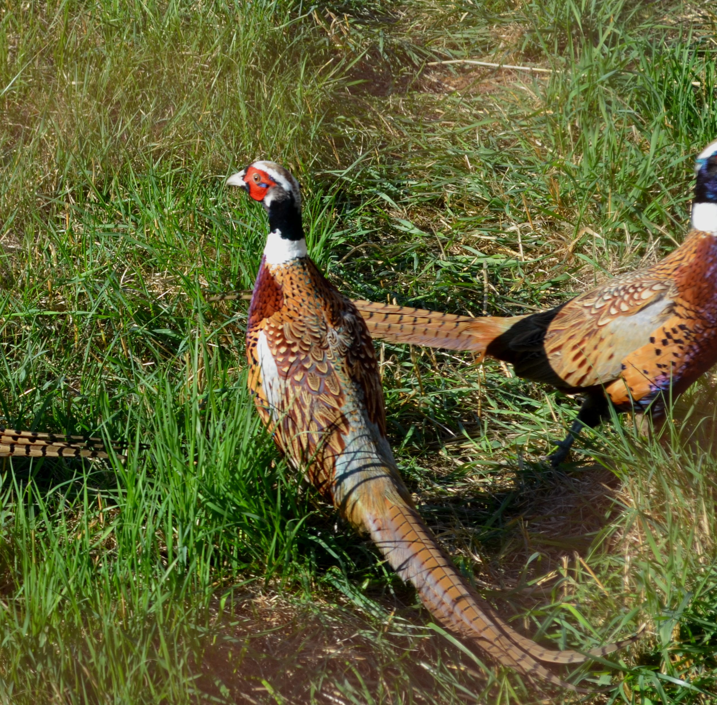 Michigan DNR aims for more hunters with new pheasant releases