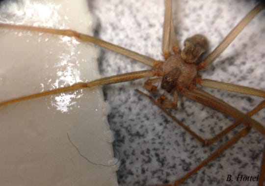 A recluse spider caught on a sticky trap. These spiders have six eyes in pairs of two and a unique violin marking on their body.