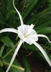 Spider Lily, one of the plants offered at the Goodwood plant sale Oct. 13.