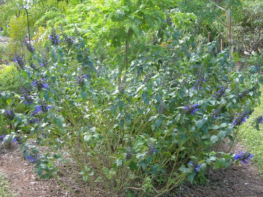 "Salvia 'Black and Blue"" is a perennial which produces stunning cobalt blue blooms from black calyces – the covering of the flower. It grows from 2 to 5 feet tall and is drought tolerant. Plant it in full sun or partial shade. It will bloom most of the year and attract large butterflies and hummingbirds."