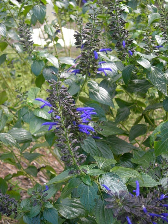 Salvia Black And Blue Flower
