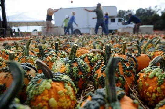 In 2018, volunteers from Hokuloa Outrigger Canoe Club place pumpkins at the pumpkin patch and corn maize at Limoneira Ranch in Santa Paula. The pumpkin patch will open this weekend with food vendors and live music. STAR FILE PHOTO