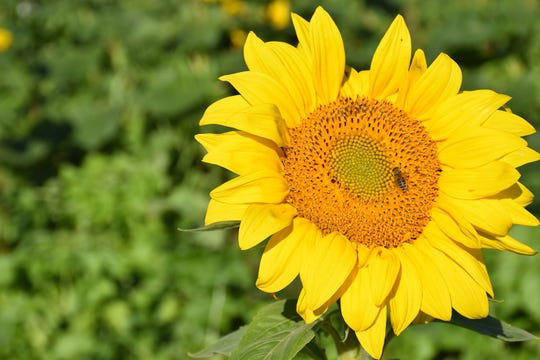 A honey bee visiting a sunflower in the multi-species cover crop field