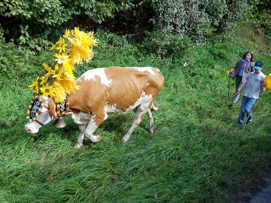 Adorned with varicolored ribbons and wreathes, it's the time of year that the cows in Austria return from their summer pastures to the protection of the village for winter.  Germany and Austria have been experiencing drought conditions this summer and cows have come back earlier in some regions due to a lack of enough grass in the highlands.  Some communities have festivals to celebrate the annual tradition while in other areas cows walk down busy highways on their way back home.