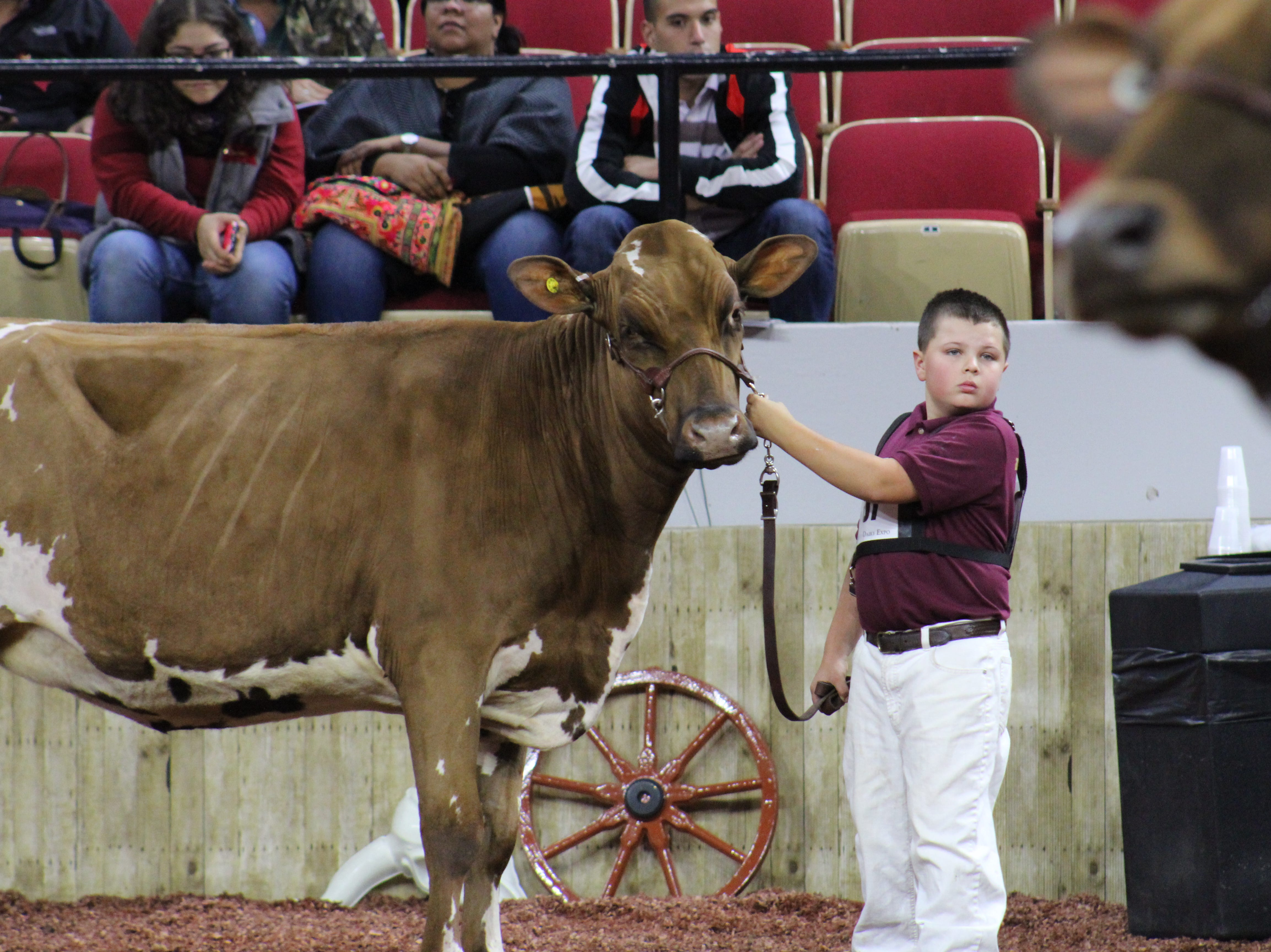 Even the youngest exhibitors are skilled in showing their animals.