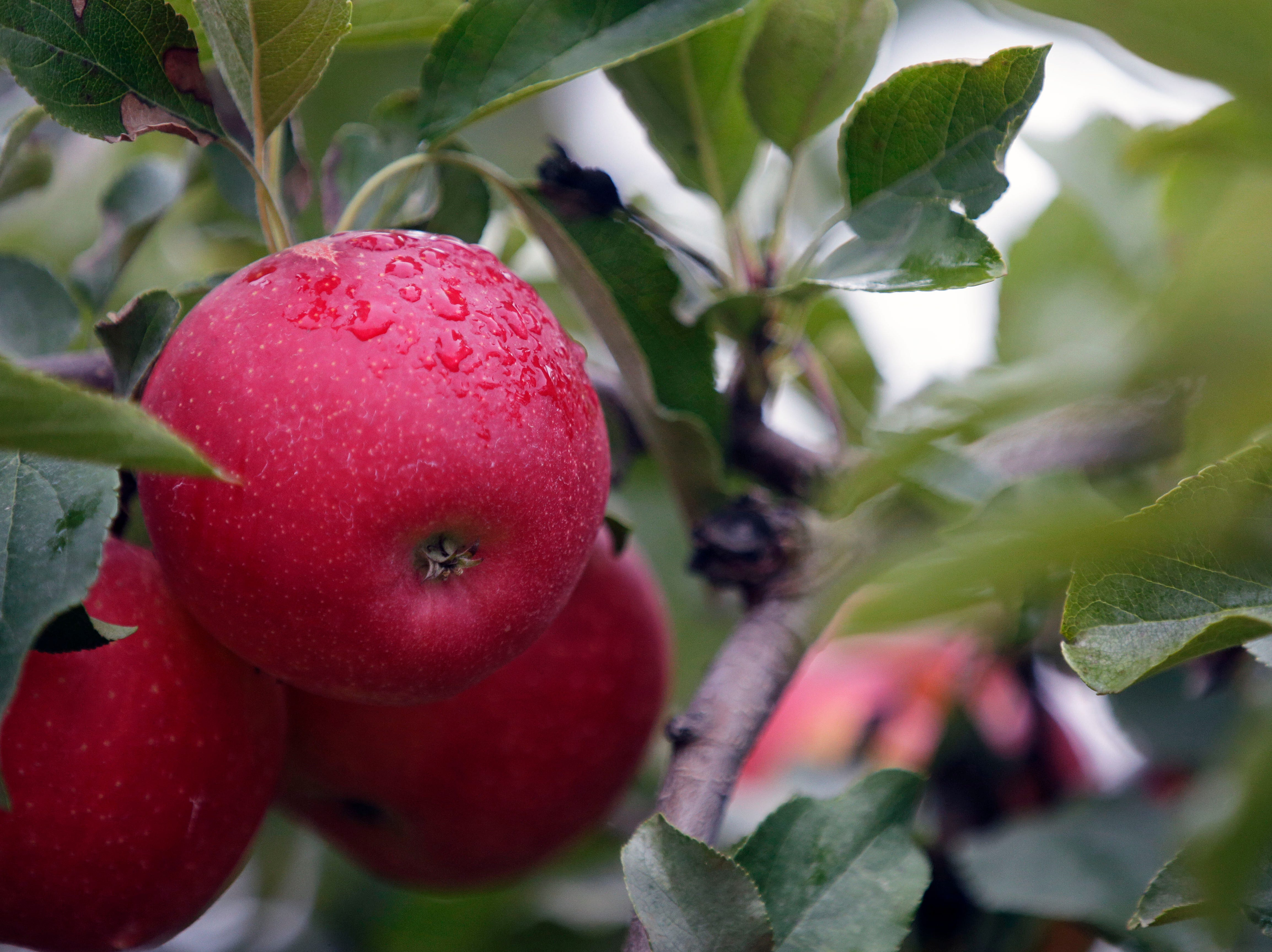 Cool and damp weather was just right for picking apples Sunday, September 30, 2018, at Star Orchard in Kaukauna, Wis.Ron Page/USA TODAY NETWORK-Wisconsin