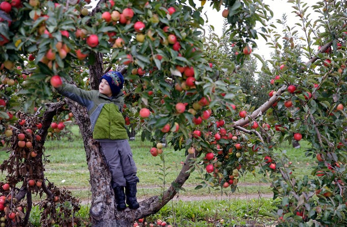 Kai Suess of Appleton stands on a low branch and reaches for an apple Sunday, September 30, 2018, at Star Orchard in Kaukauna, Wis.