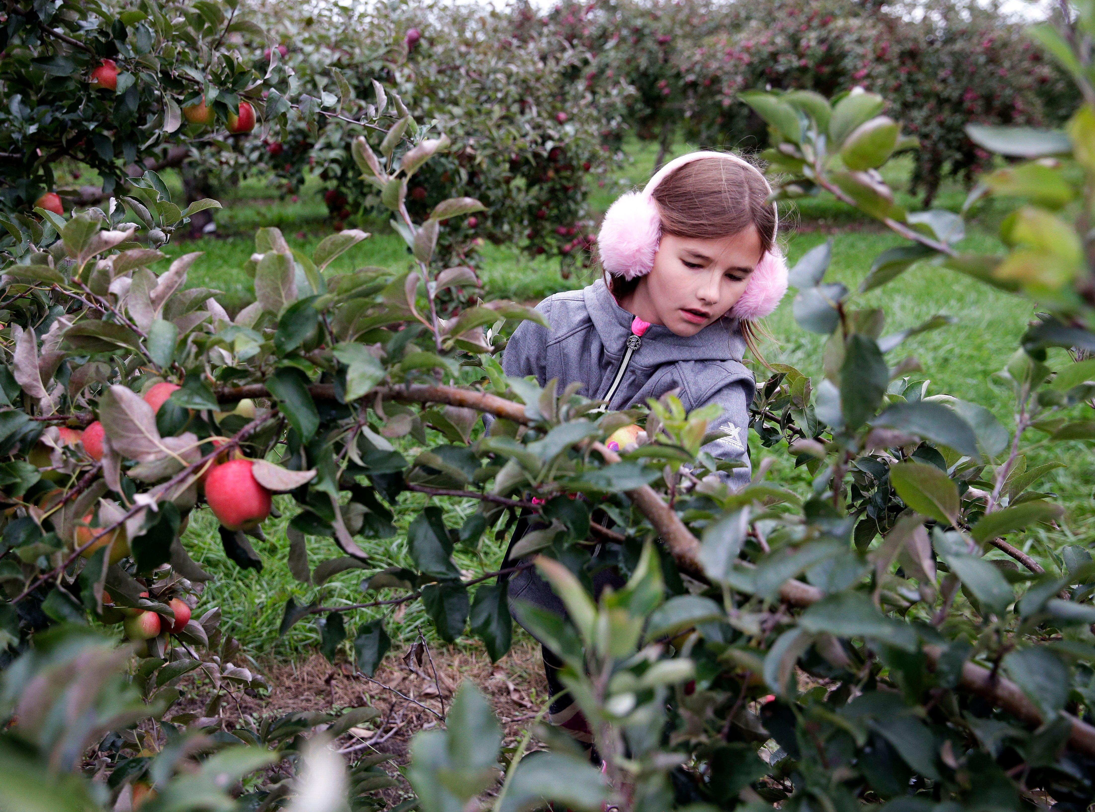 Audrey Hoppe of Little Chute brought earmuffs as she searches for apples on a cool and damp Sunday, September 30, 2018, at Star Orchard in Kaukauna, Wis.Ron Page/USA TODAY NETWORK-Wisconsin