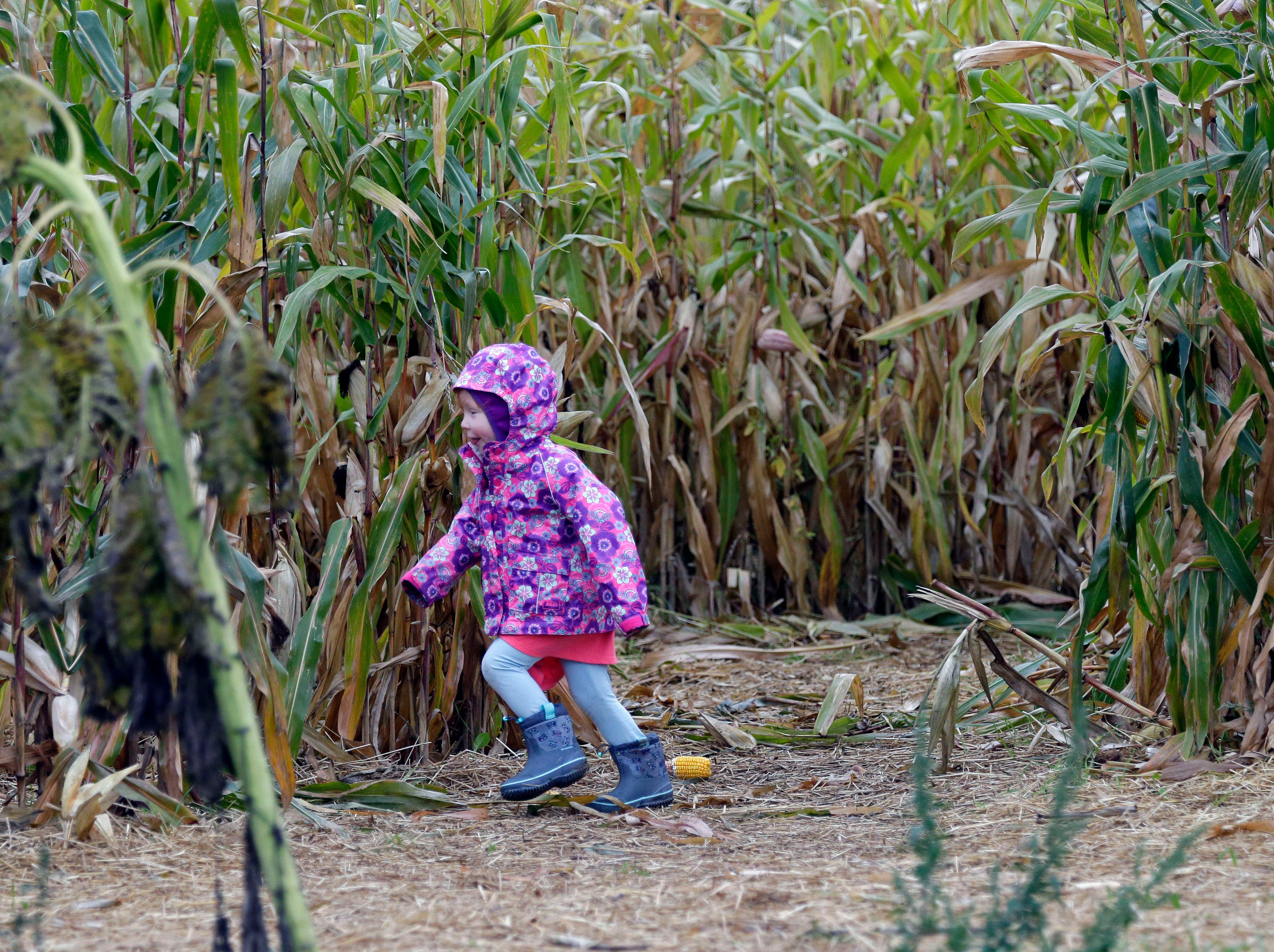 Carly McCallum of Appleton runs through the corn maze Sunday, September 30, 2018, at Star Orchard in Kaukauna, Wis.