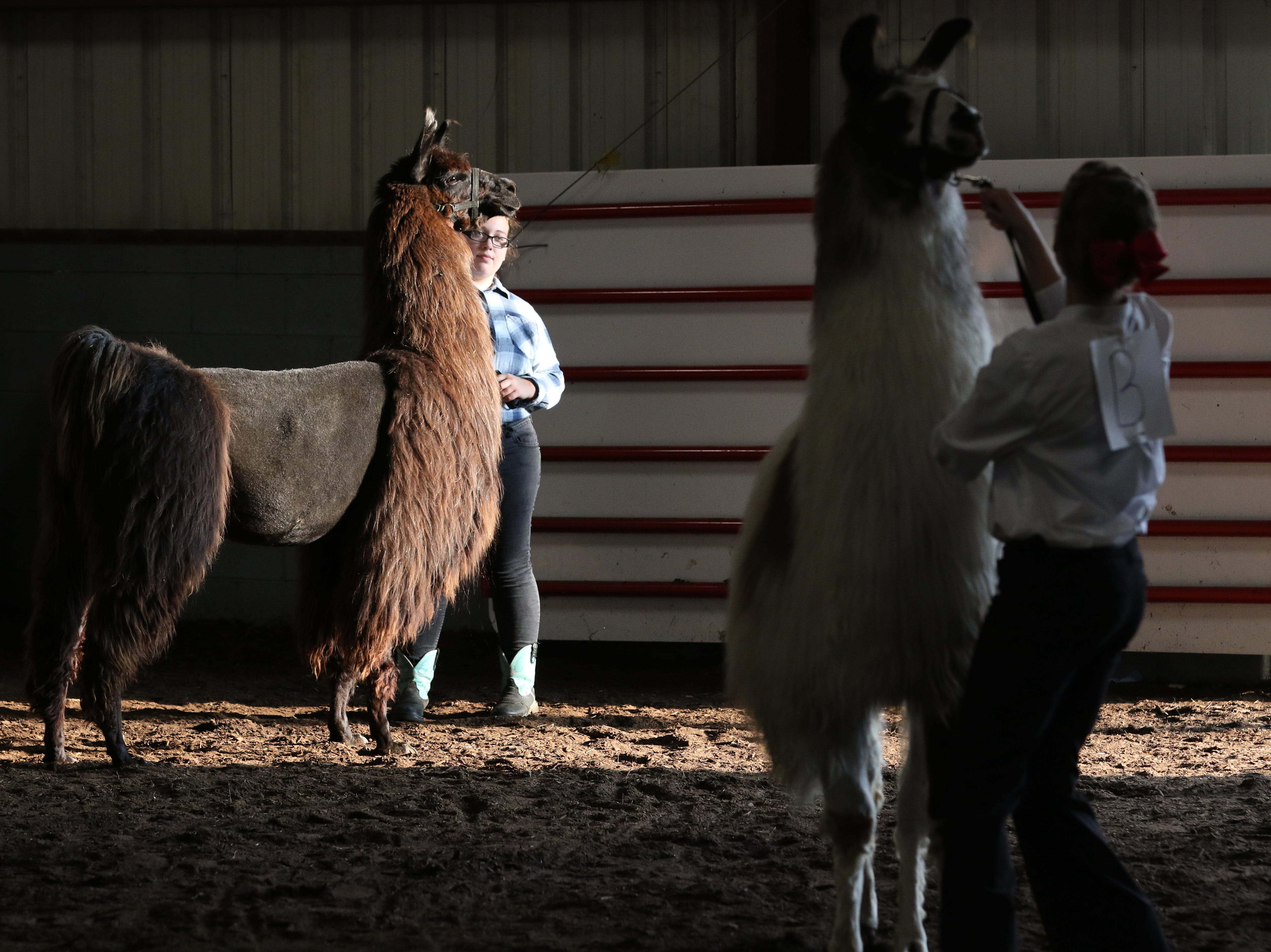 Emily Burrier waits to show a llama during the Showman of Showmen at the Coshocton County Fair on Wednesday.