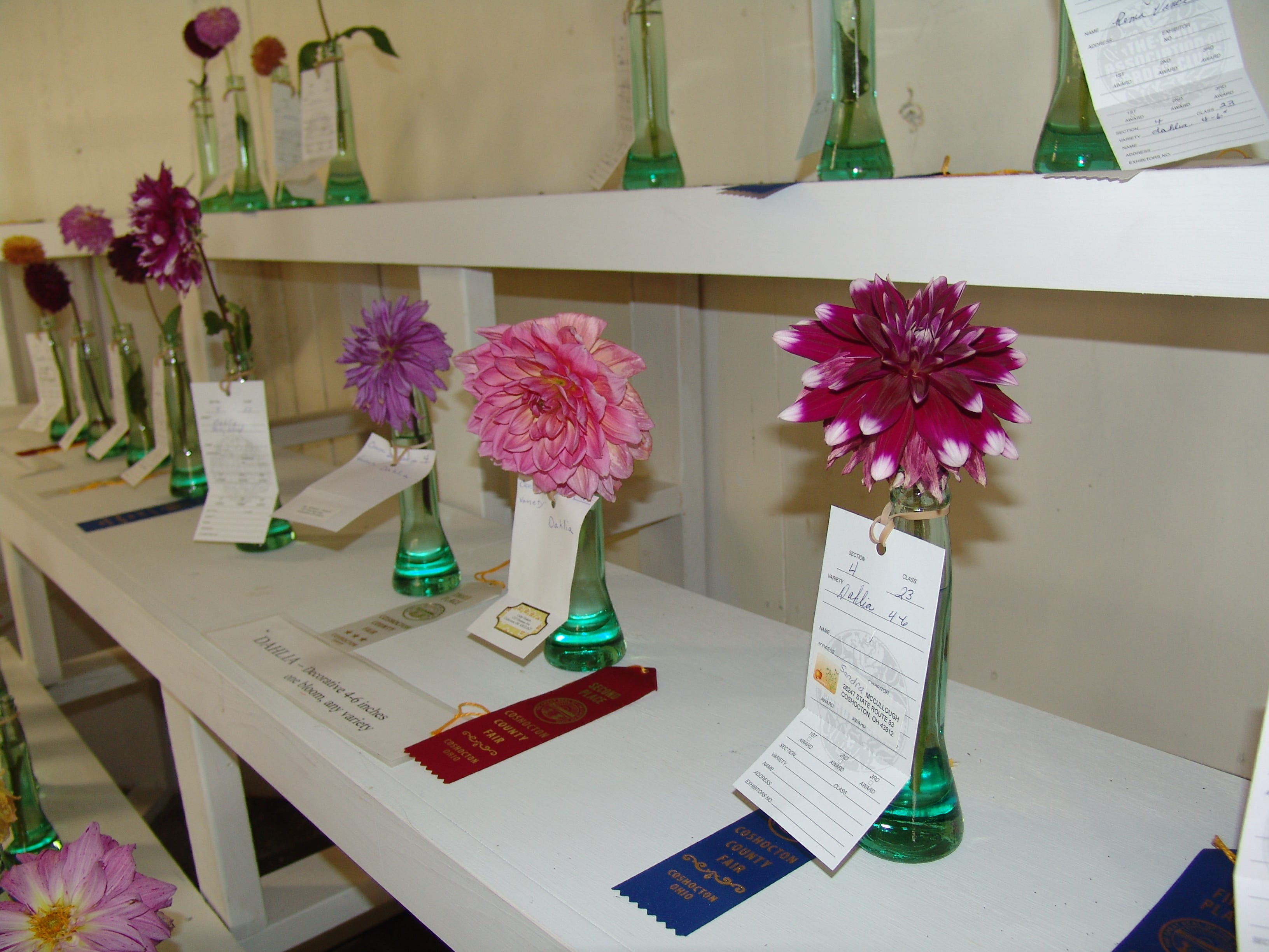 Dahlias, including a blue-ribbon winner, grown by members of the Town & Country Garden Club.