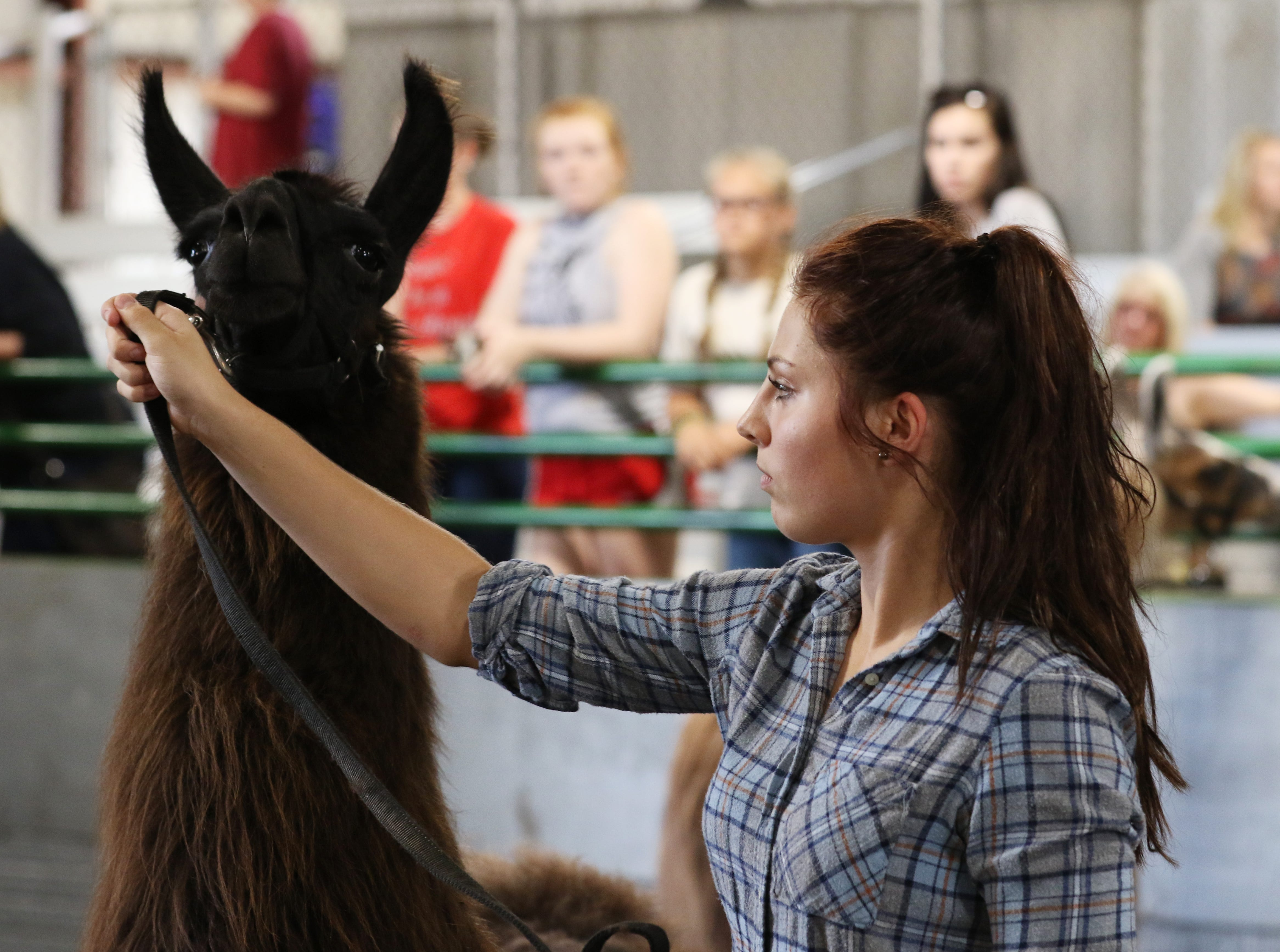 Kalie Rettos shows a llama during the Showman of Showmen at the Coshocton County Fair on Wednesday.