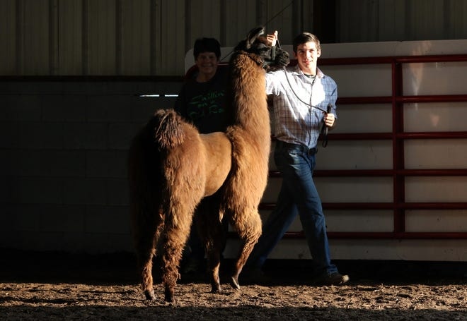 Justin Mason shows a llama during the showman of showmen competition at the Coshocton County Fair on Wednesday. Mason won the competition.
