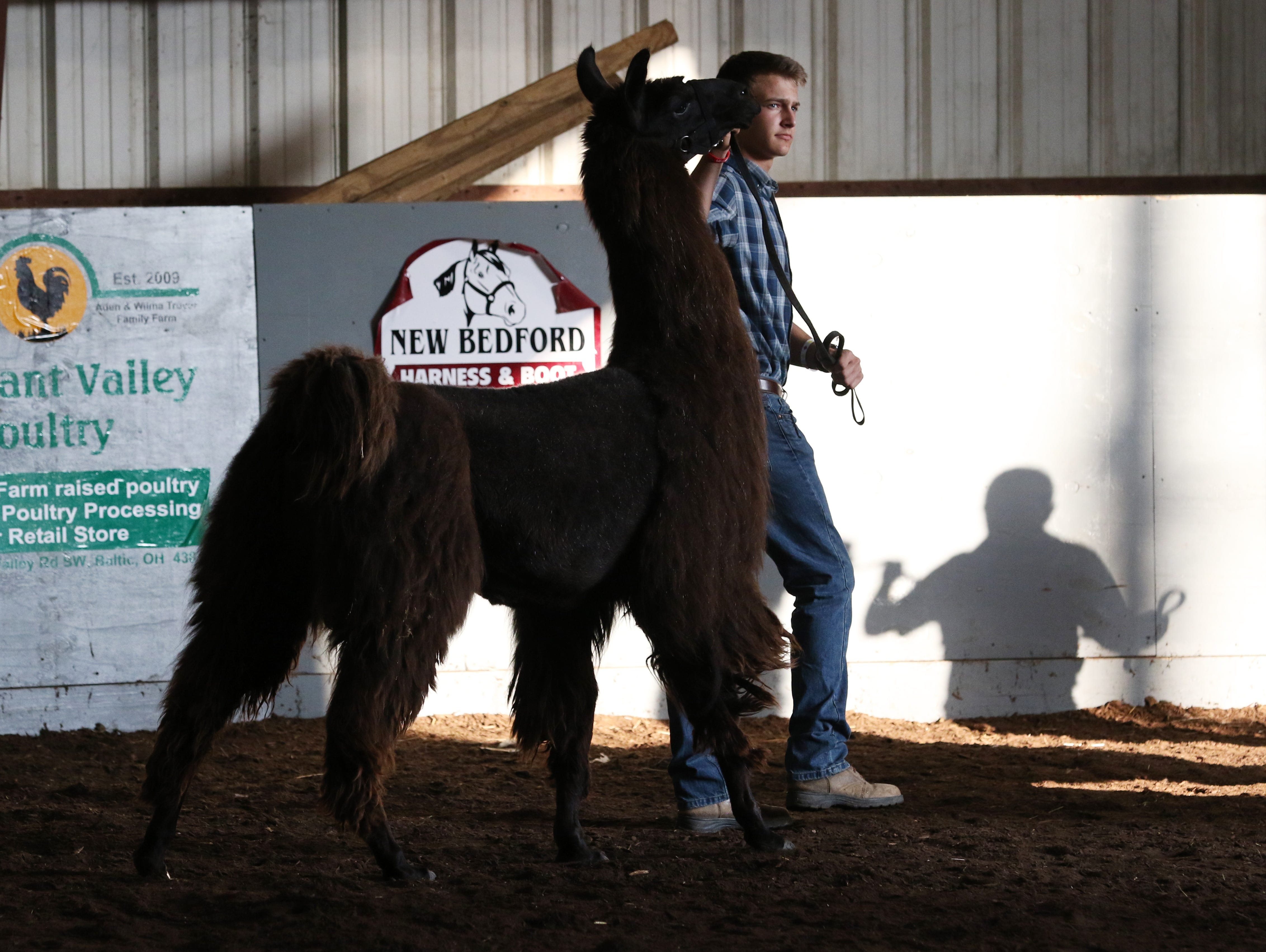 Ty Collins shows a llama during the Showman of Showmen at the Coshocton County Fair on Wednesday.