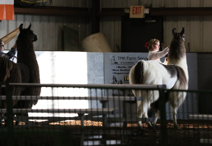 Belle Norman shows a llama during the Showman of Showmen at the Coshocton County Fair on Wednesday.
