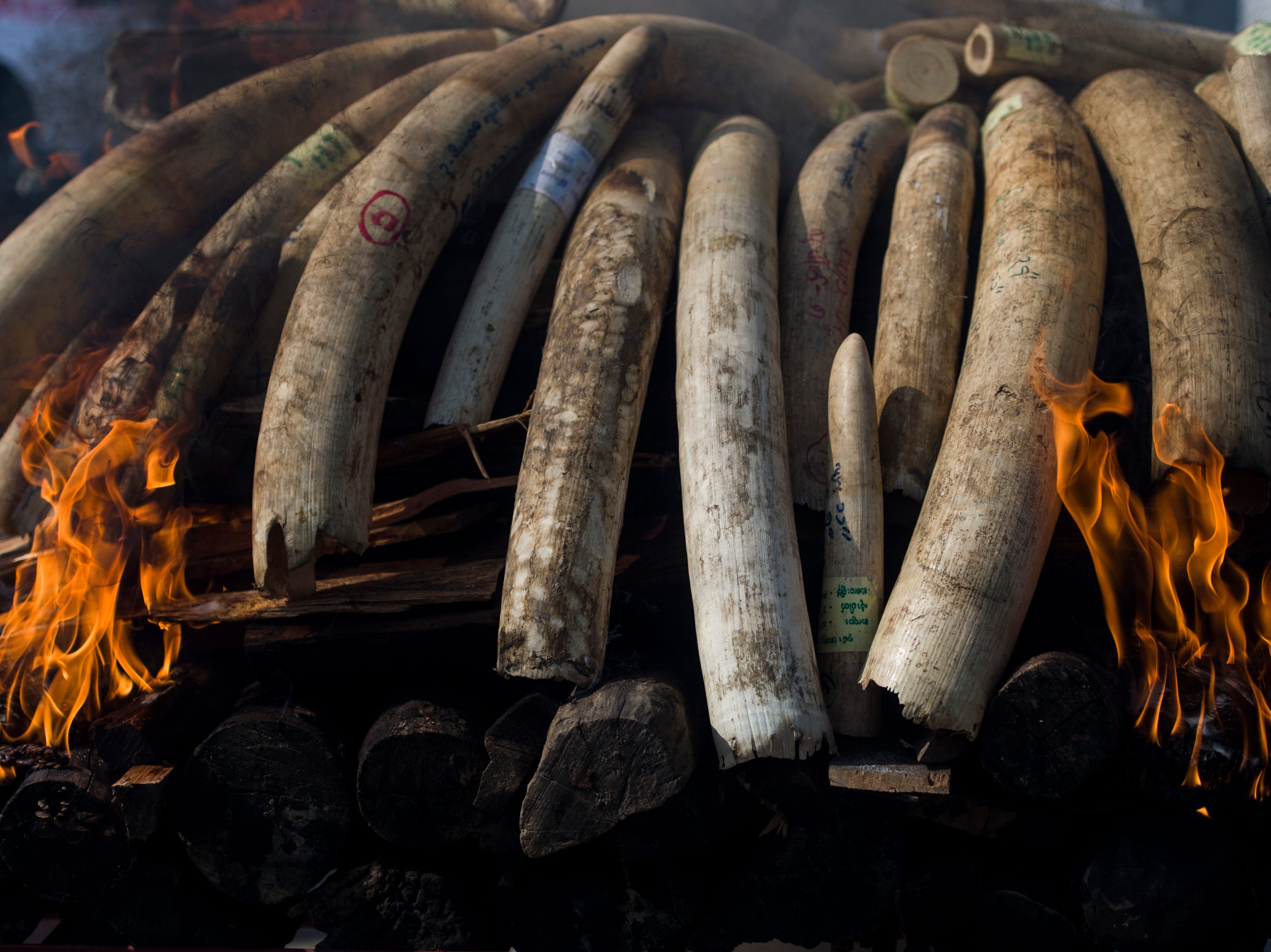 Elephant ivory and animal horns burn during a ceremony to destroy confiscated wildlife parts in Naypyidaw on October 4, 2018.
