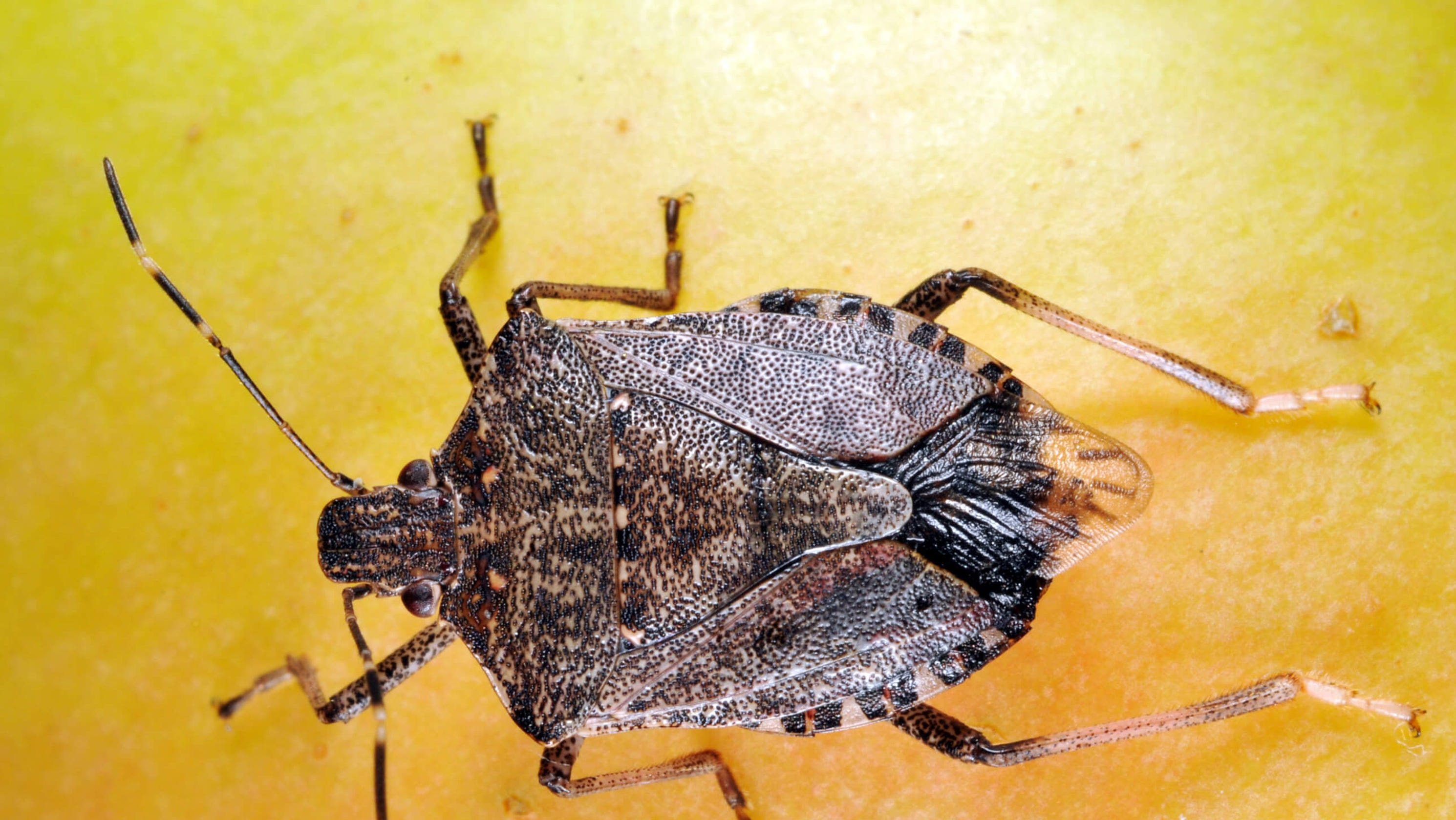 stink bugs yes you 39 re seeing a lot more of them right now. Black Bedroom Furniture Sets. Home Design Ideas