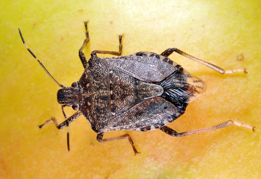 Obermeyer Stinkbug