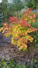 The Korean Maple bursts with color in the autumn.