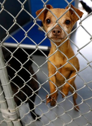 Garnier, a 3-year-old dog, rescued from a Vinton County home in August, looks out of the kennel he shares with three other dogs rescued from the same home Thursday, Oct. 4, 2018, at the Fairfield Area Humane Society in Lancaster. The 30 dogs from home remain at the shelter pushing it to capacity.
