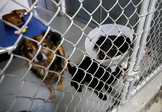 Whitney, left, and  Josie stand at the door of the kennel Thursday, Oct. 4, 2018, at the Fairfield Area Humane Society in Lancaster. They're among the 145 dog rescued from a home in Vinton County. Thirty of the dogs remain at the humane society pushing it to capacity.
