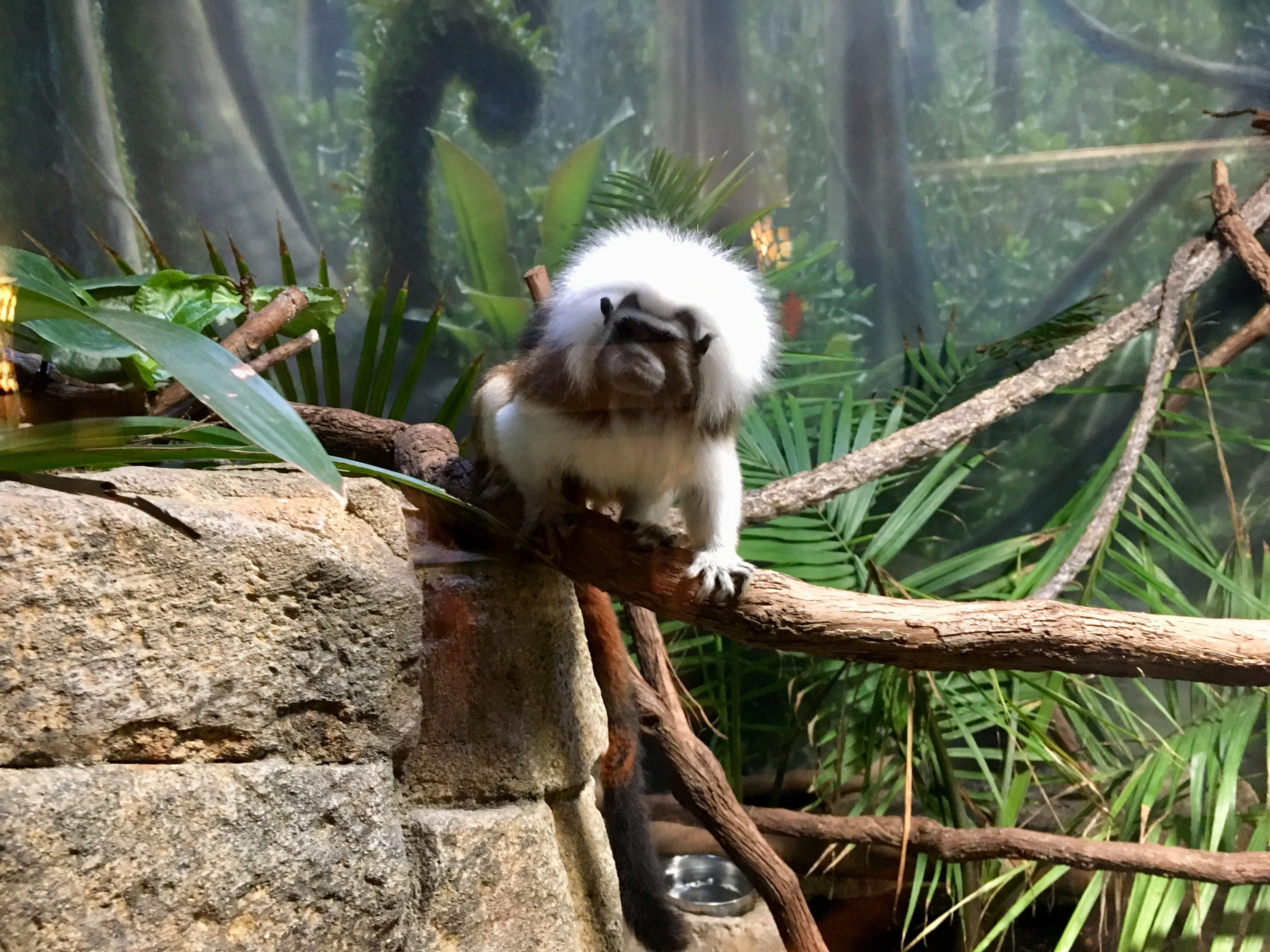 One of the cotton-top tamarin monkeys in an exhibit inside a women's restroom at Nashville Zoo at Grassmere.
