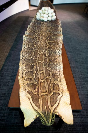 A 16-foot-1-inch python skin lies on a table after a presentation announcing a partnership between the Conservancy of Southwest Florida and the Naples Zoo to advance research on Burmese pythons in the Western Everglades on Thursday, Oct. 4, 2018, at the Conservancy. The 185-pound snake was the heaviest python caught by the Conservancy.