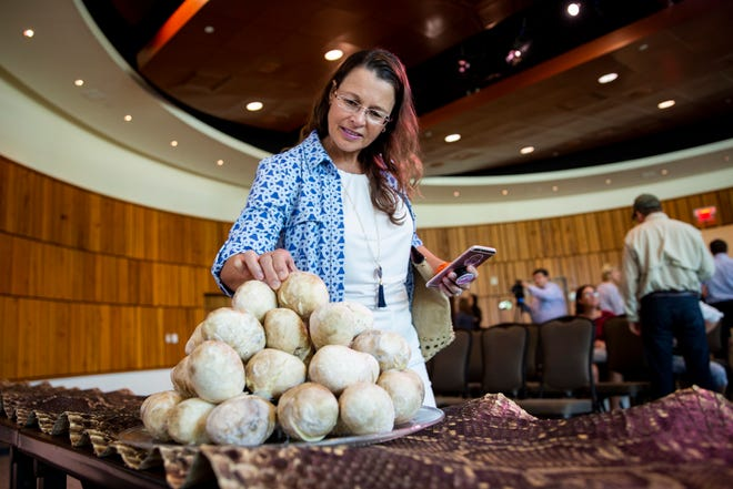 Laurie Leppo looks at python eggs after a presentation announcing a partnership between the Conservancy of Southwest Florida and the Naples Zoo to advance research on Burmese pythons in the western Everglades on Thursday, Oct. 4, 2018, at the Conservancy.