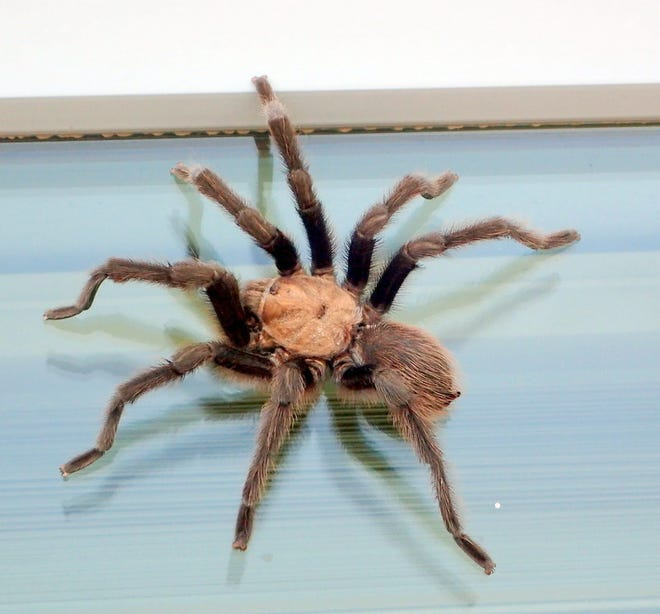 Tarantula clings to the border of the window.