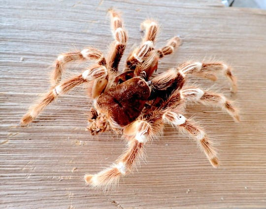 A tarantula skin  shedding looks very much like a real spider, but will disintegrate quickly.