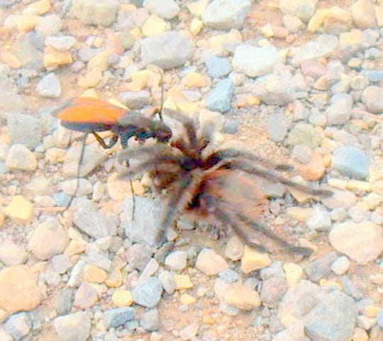 Pawley snapped a shot of a Tarantula Hawk attacking either a young tarantula .