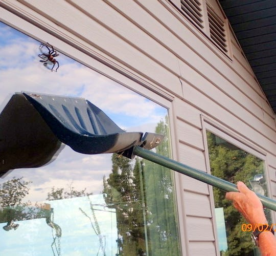 Ray Pawley uses snow shovel to rescue a tarantula on his window in Arabel.