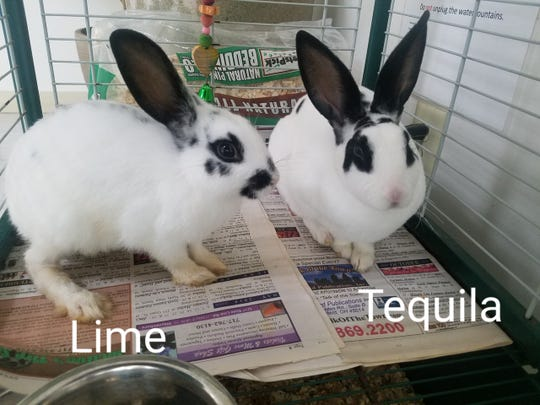 Lime and Tequila are two young rabbits who were surrendered to the shelter, because their owner could no longer care for them. They are rex and American mix rabbits who love to be held. Lime is the smaller of the two, and has less black spotting on her back. They're both girls. If you understand rabbit care, come meet these sweet babies!
