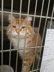 Bobby the cat strayed from Montana all the way to Fallon, Nev.