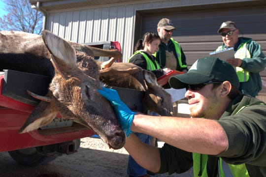 MDC conducts a mandatory sampling for CWD during deer opening season at Whetstone Creek Conservation Area in Williamsburg. Tissue from the deer's neck is taken for testing in the lab.