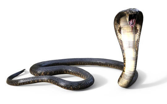 This is the kind of snake Gary Yordon (thought he) saw in his house.
