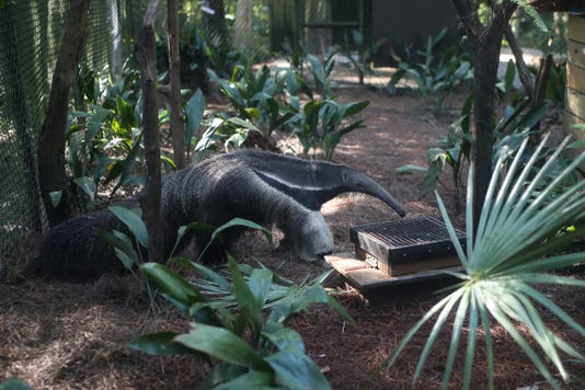 Tallahassee Museum Anteater Ts 051