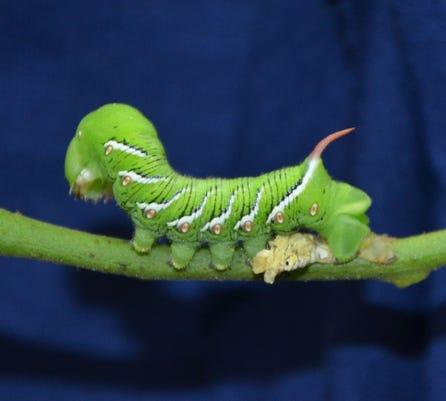 Hornworm Td 10 5 18