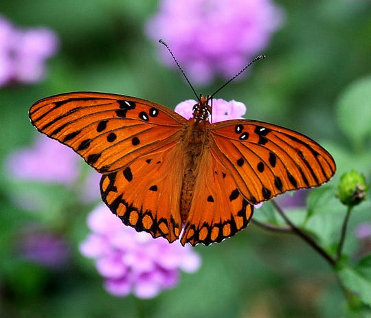 A butterfly lands on a flower in the butterfly garden at Birdsong Nature Center, which is hold a fall hike on Wednesday.