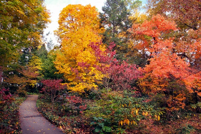 Pierce Woods at Longwood shows off peak autumn colors; they are expected to return the third week of October 2018.