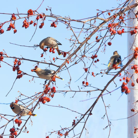 Bohemian Waxwing Eating Crabapple Berries In Spring
