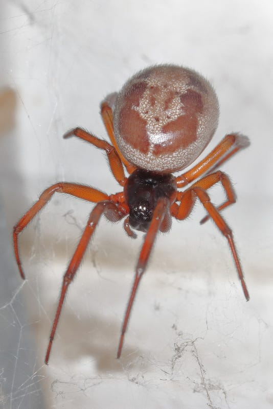 Picture Of A Closeup Macro Of A False Widow Steatoda Nobilis Taken In Spain