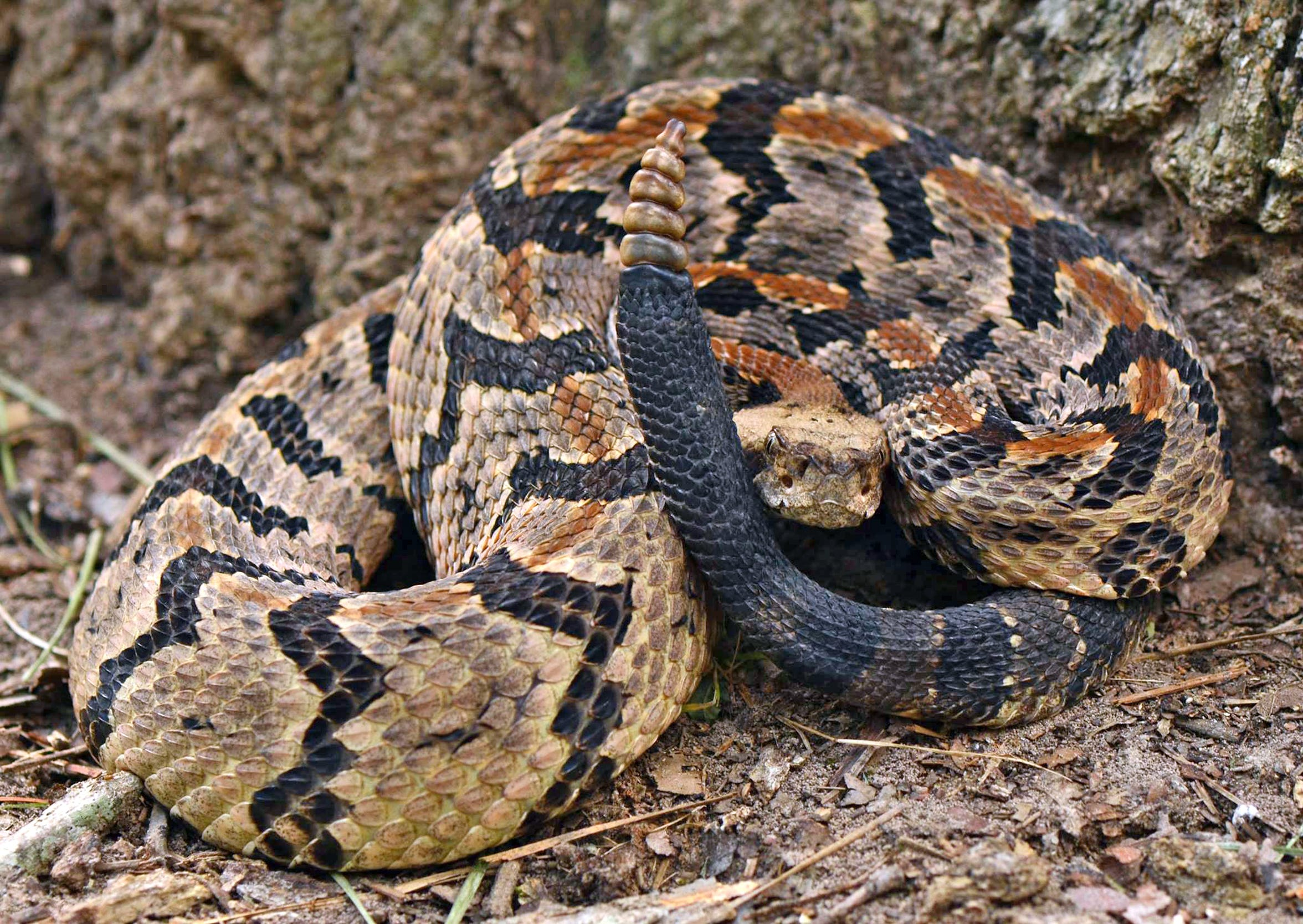 Timber rattlers are listed as a threatened species in Texas, which means it is unlawful to kill, transport, or possess one.