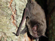 Indiana bat (Myotis sodalis) – endangered: This species of bats numbers less than 300,000 in the world and is endangered. The Indiana bat can be identified by its dull brown to gray fur with a pinkish tail membrane. They tend to roost in dead or hollow trees in the summer and form large winter colonies in limestone caves.