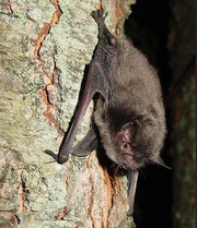 An Indiana bat clings to a tree.