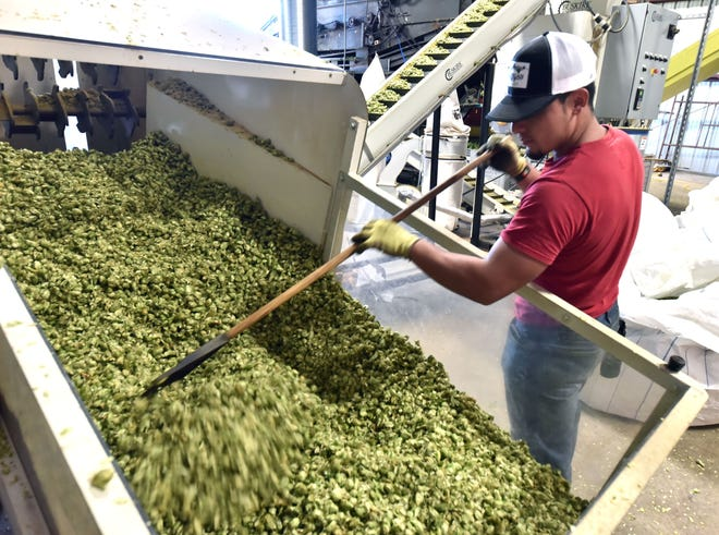 Christian Astorga helps feed hop cones into a compressing machine to produce pellets at Michigan Hop Alliance in Omena. Michigan's production of hops skyrocketed from 325 acres in 2015 to 810 acres in 2017, according to Hop Growers of America.